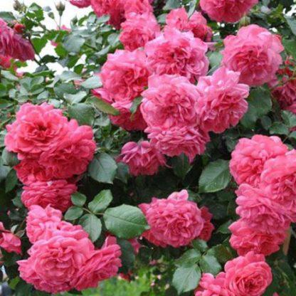Предлагаем купить саженцы Розы плетистой сорта «Ютерсен» в интернет-магазине при питомнике по цене от 160 руб. за штуку. Высокая свежесть и надежная упаковка. Заказы доставляем почтой в любой регион России, оплата разными способами. Закажите саженцы Розы плетистой сорта «Ютерсен» онлайн или позвоните по телефону: +7(978)555-21-83!