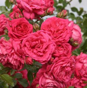 Предлагаем купить саженцы Розы плетистой сорта «Лагуна» в интернет-магазине при питомнике по цене от 160 руб. за штуку. Высокая свежесть и надежная упаковка. Заказы доставляем почтой в любой регион России, оплата разными способами. Закажите саженцы Розы плетистой сорта «Лагуна» онлайн или позвоните по телефону: +7(978)555-21-83!