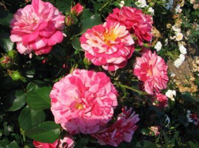 Предлагаем купить саженцы Розы плетистой сорта «Твист» в интернет-магазине при питомнике по цене от 160 руб. за штуку. Высокая свежесть и надежная упаковка. Заказы доставляем почтой в любой регион России, оплата разными способами. Закажите саженцы Розы плетистой сорта «Твист» онлайн или позвоните по телефону: +7(978)555-21-83!