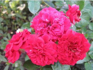 Предлагаем купить саженцы Розы почвопокровной сорта «Хеллоу» в интернет-магазине при питомнике по цене от 160 руб. за штуку. Высокая свежесть и надежная упаковка. Заказы доставляем почтой в любой регион России, оплата разными способами. Закажите саженцы Розы почвопокровной сорта «Хеллоу» онлайн или позвоните по телефону: +7(978)555-21-83!
