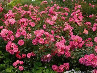 Предлагаем купить саженцы Розы почвопокровной сорта «Мирато» в интернет-магазине при питомнике по цене от 160 руб. за штуку. Высокая свежесть и надежная упаковка. Заказы доставляем почтой в любой регион России, оплата разными способами. Закажите саженцы Розы почвопокровной сорта «Мирато» онлайн или позвоните по телефону: +7(978)555-21-83!