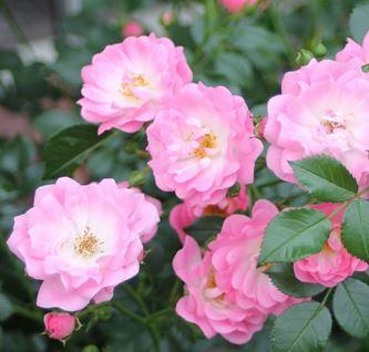 Предлагаем купить саженцы Розы почвопокровной сорта «Сатина» в интернет-магазине при питомнике по цене от 160 руб. за штуку. Высокая свежесть и надежная упаковка. Заказы доставляем почтой в любой регион России, оплата разными способами. Закажите саженцы Розы почвопокровной сорта «Сатина» онлайн или позвоните по телефону: +7(978)555-21-83!