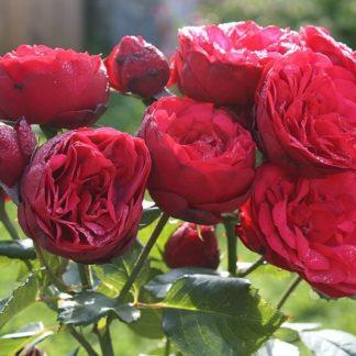 Предлагаем купить саженцы Розы чайно-гибридной сорта «Ред Пиано» в интернет-магазине при питомнике по цене от 170 руб. за штуку. Высокая свежесть и надежная упаковка. Заказы доставляем почтой в любой регион России, оплата разными способами. Закажите саженцы Розы чайно-гибридной сорта «Ред Пиано» онлайн или позвоните по телефону: +7(978)555-21-83!