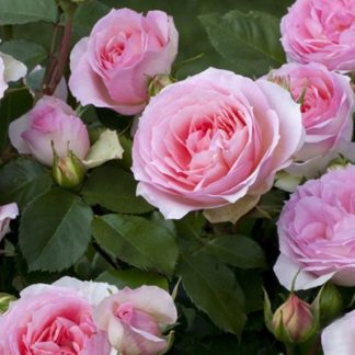 Предлагаем купить саженцы Розы флорибунда сорта «София романтика» в интернет-магазине при питомнике по цене от 170 руб. за штуку. Высокая свежесть и надежная упаковка. Заказы доставляем почтой в любой регион России, оплата разными способами. Закажите саженцы Розы флорибунда сорта «София романтика» онлайн или позвоните по телефону: +7(978)555-21-83!