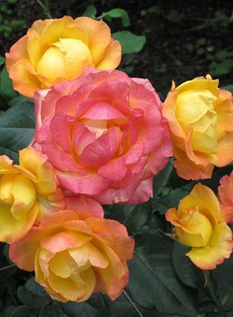 Предлагаем купить саженцы Розы флорибунда сорта «Солнечная девочка» в интернет-магазине при питомнике по цене от 160 руб. за штуку. Высокая свежесть и надежная упаковка. Заказы доставляем почтой в любой регион России, оплата разными способами. Закажите саженцы Розы флорибунда сорта «Солнечная девочка» онлайн или позвоните по телефону: +7(978)555-21-83!