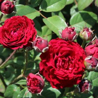 Предлагаем купить саженцы Розы спрей сорта «Таманго» в интернет-магазине при питомнике по цене от 170 руб. за штуку. Высокая свежесть и надежная упаковка. Заказы доставляем почтой в любой регион России, оплата разными способами. Закажите саженцы Розы спрей сорта «Таманго» онлайн или позвоните по телефону: +7(978)555-21-83!