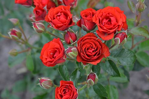 Предлагаем купить саженцы Роза флорибунда сорта «Жельторс» в интернет-магазине при питомнике по цене от 160 руб. за штуку. Высокая свежесть и надежная упаковка. Заказы доставляем почтой в любой регион России, оплата разными способами. Закажите саженцы Роза флорибунда сорта «Жельторс» онлайн или позвоните по телефону: +7(978)555-21-83!