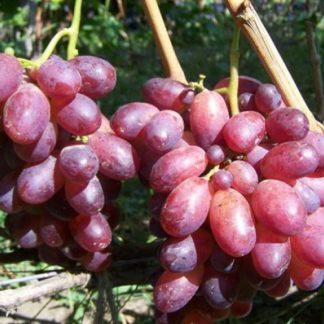 Предлагаем купить саженцы Винограда сорта «Спорт 2» в интернет-магазине при питомнике по цене от 180 руб. за штуку. Высокая свежесть и надежная упаковка. Заказы доставляем почтой в любой регион России, оплата разными способами. Закажите саженцы Винограда сорта «Спорт 2» онлайн или позвоните по телефону: +7(978)555-21-83!