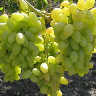 Предлагаем купить саженцы Винограда сорта «Аркадия» в интернет-магазине при питомнике по цене от 170 руб. за штуку. Высокая свежесть и надежная упаковка. Заказы доставляем почтой в любой регион России, оплата разными способами. Закажите саженцы винограда Аркадия онлайн или позвоните по телефону: +7(978)555-21-83!