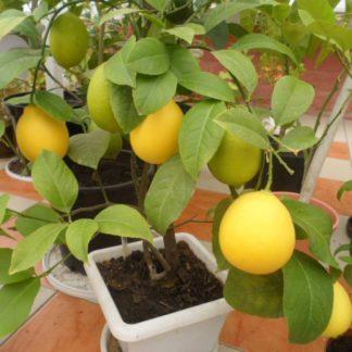 Предлагаем купить саженцы Лимона сорта «Ташкентский» в интернет-магазине при питомнике по цене от 750 руб. за штуку. Высокая свежесть и надежная упаковка. Заказы доставляем почтой в любой регион России, оплата разными способами. Закажите саженцы Лимона сорта «Ташкентский» онлайн или позвоните по телефону: +7(978)555-21-83!