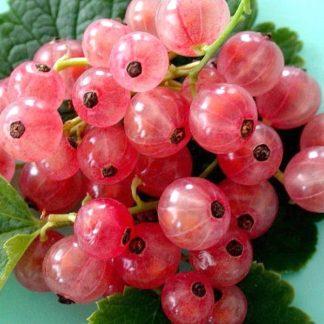 Смородина красная сорта «Голландская розовая» купить саженцы почтой по низкой цене в интернет-магазине при питомнике - «Крымский фрукт»