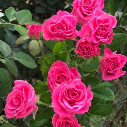 Роза спрей «Лавли Лидия» купить саженцы почтой по низкой цене в интернет-магазине при питомнике - «Крымский фрукт»