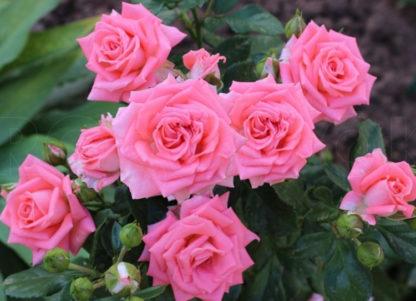 Роза спрей «Барбадос» купить саженцы почтой по низкой цене в интернет-магазине при питомнике - «Крымский фрукт»