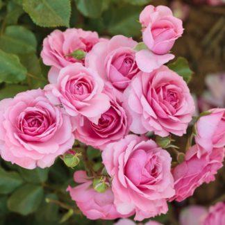 Роза спрей «Боника» купить саженцы почтой по низкой цене в интернет-магазине при питомнике - «Крымский фрукт»