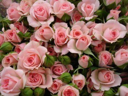 Роза спрей «Грация» купить саженцы почтой по низкой цене в интернет-магазине при питомнике - «Крымский фрукт»
