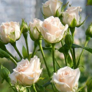 Роза спрей «Яна» купить саженцы почтой по низкой цене в интернет-магазине при питомнике - «Крымский фрукт»