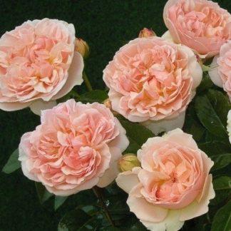 Роза спрей «Эвелин» купить саженцы почтой по низкой цене в интернет-магазине при питомнике - «Крымский фрукт»
