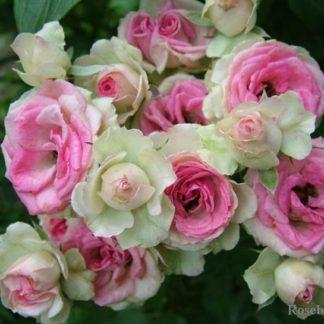 Роза спрей «Мими эден» купить саженцы почтой по низкой цене в интернет-магазине при питомнике - «Крымский фрукт»