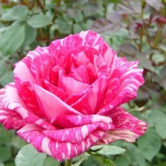 Роза спрей «Пинк Интуишн» купить саженцы почтой по низкой цене в интернет-магазине при питомнике - «Крымский фрукт»