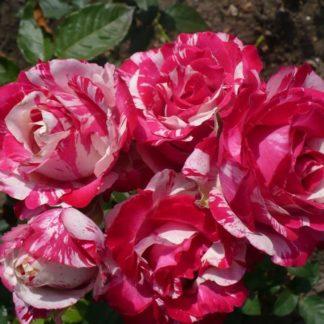 Роза спрей «Сатин» купить саженцы почтой по низкой цене в интернет-магазине при питомнике - «Крымский фрукт»