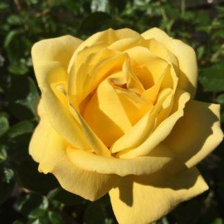 Роза флорибунда «Артур Белл» купить саженцы почтой по низкой цене в интернет-магазине при питомнике - «Крымский фрукт»