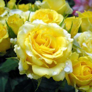 Роза флорибунда «Голден Борден» купить саженцы почтой по низкой цене в интернет-магазине при питомнике - «Крымский фрукт»