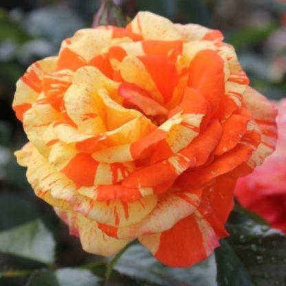 Роза флорибунда «Пападжина» купить саженцы почтой по низкой цене в интернет-магазине при питомнике - «Крымский фрукт»