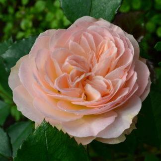 Роза флорибунда «Пастелла» купить саженцы почтой по низкой цене в интернет-магазине при питомнике - «Крымский фрукт»