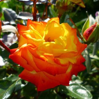 Роза флорибунда «Самба» купить саженцы почтой по низкой цене в интернет-магазине при питомнике - «Крымский фрукт»