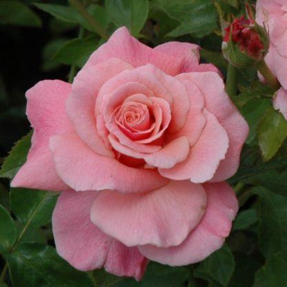 купить розы флорибунды саженцы сорта Тиклед пинк описание по низкой цене в интернет магазине с доставкой из питомника в Крыму