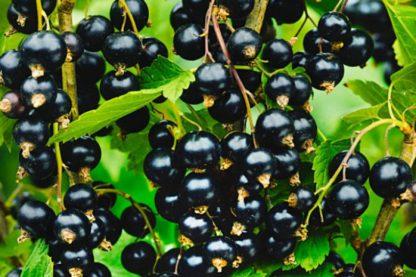 Смородина «Тамерлан» чёрная купить саженцы почтой по низкой цене в интернет-магазине при питомнике - «Крымский фрукт»