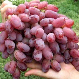 Предлагаем купить саженцы Винограда сорта «Ризамат» в интернет-магазине при питомнике по цене от 170 руб. за штуку. Высокая свежесть и надежная упаковка. Заказы доставляем почтой в любой регион России, оплата разными способами. Закажите саженцы Винограда «Ризамат» онлайн или позвоните по телефону: +7(978)555-21-83!