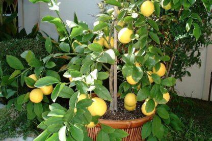 Предлагаем купить саженцы Лимона «Мейера» в интернет-магазине при питомнике по цене от 750 руб. за штуку. Высокая свежесть и надежная упаковка. Заказы доставляем почтой в любой регион России, оплата разными способами. Закажите саженцы Лимона «Мейера» онлайн или позвоните по телефону: +7(978)555-21-83!