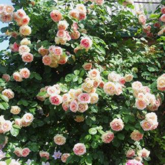 Роза плетистая Фонтана