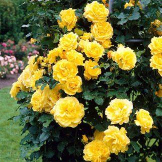 Роза плетистая «Дин   »