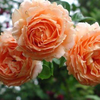 Роза плетистая «Полька  »