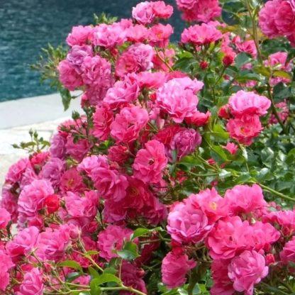 Роза почвопокровная Пинк Флорилэнд