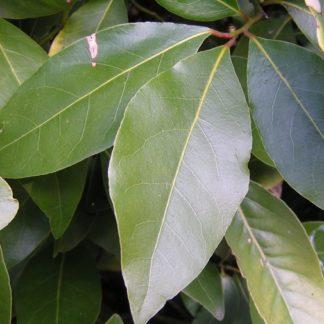 Лавровый лист (лавр благородный)