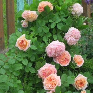 Роза плетистая «Алхимист»