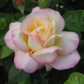Роза плетистая «Глория клайминг»