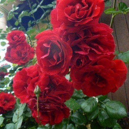 Роза плетистая «Мушимара»