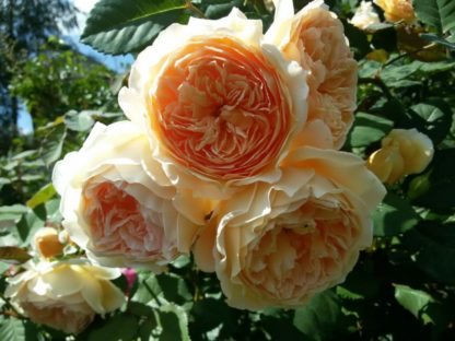 Роза плетистая «принцесса Маргарет»