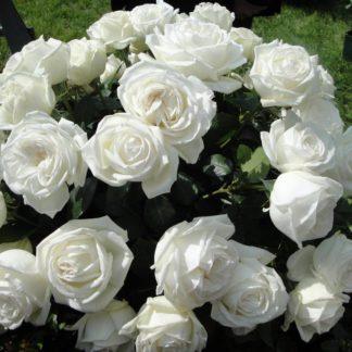 Роза чайно-гибридная Пьер Ардити