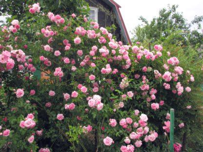 Роза плетистая Фрагецайхен