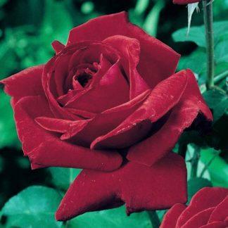 Роза чайно-гибридная Мистер Линкольн